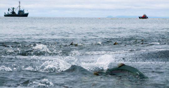 ForSea Solutions объединяет ведущих североамериканских закупщиков дикого лосося устойчивых промыслов России